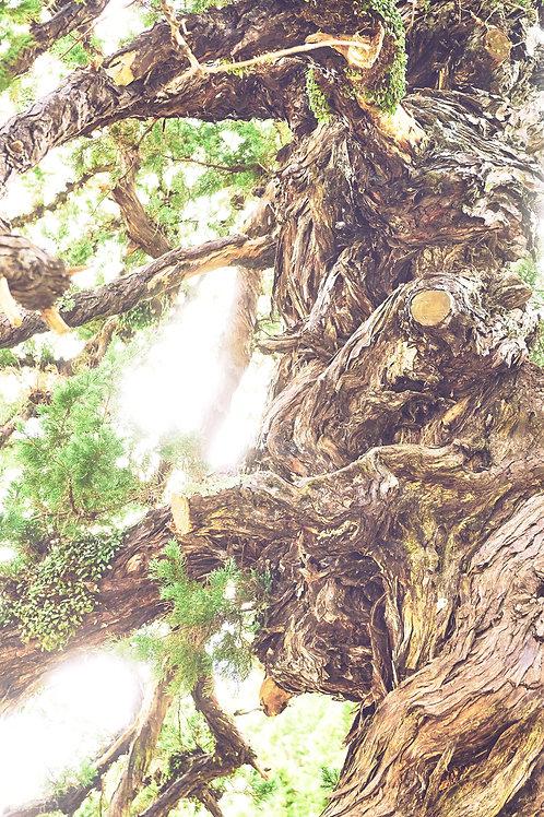 great growth「建長寺ビャクシンの木」