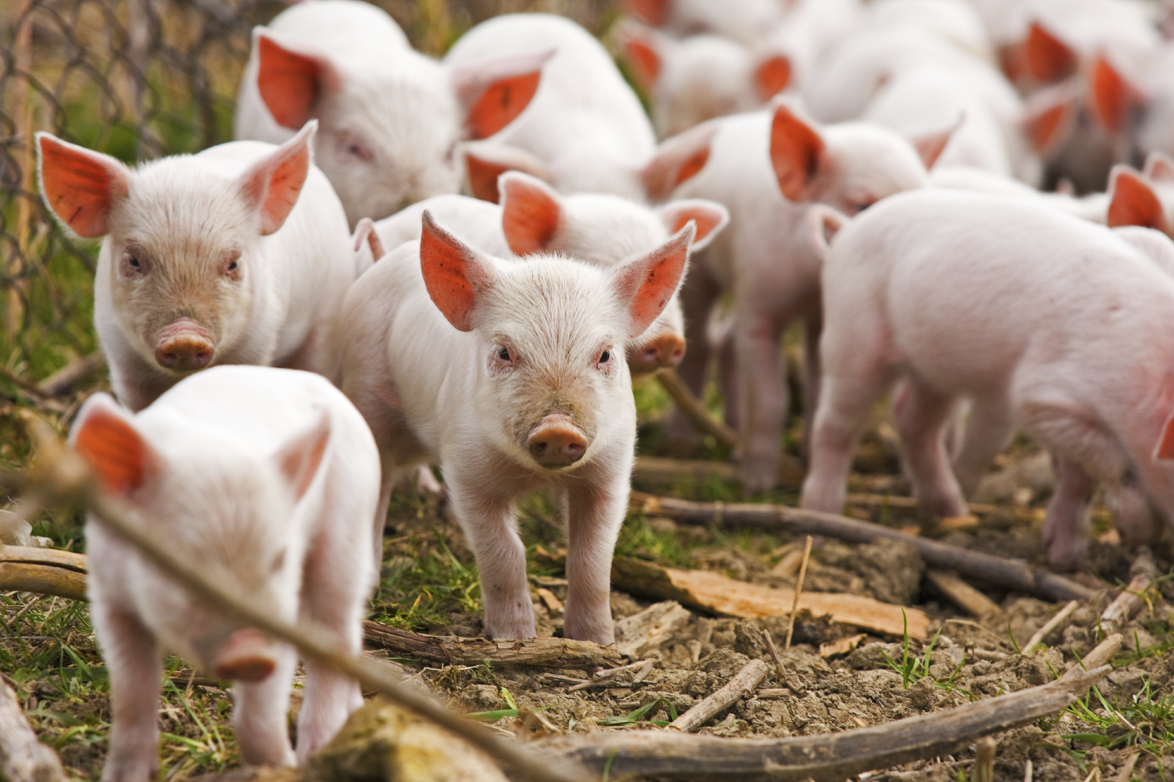pork farm