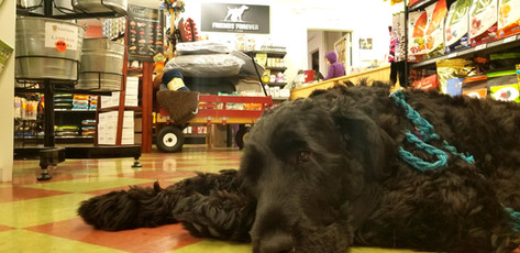 Maja is bored at Friends Forever Pet Food Store in Kirkland Wa