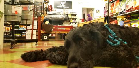 Maja is bored at Friends Forever Pet Food Store in Kirkland Wa