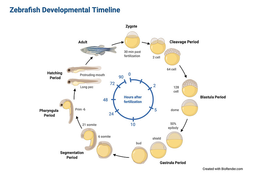 Zebrafish Developmental Timeline.jpeg