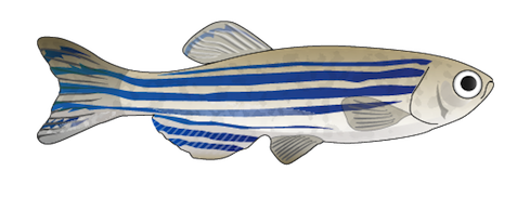 201108_zebrafish.png