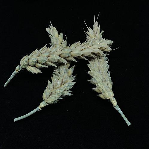 Getrocknetes Getreide
