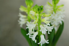 White Hyacinth Close Up