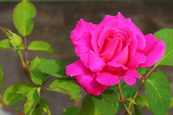Magenta Rose.png