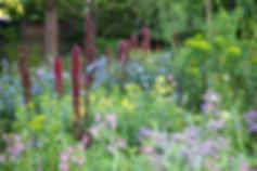 Echium rusicum 1.jpg