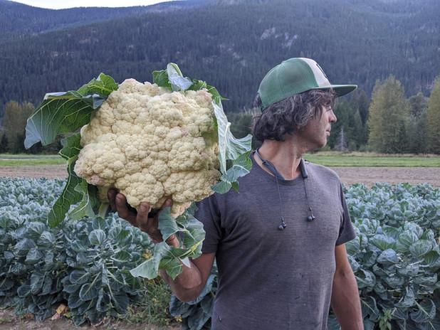 Biggest cauliflower we've ever grown