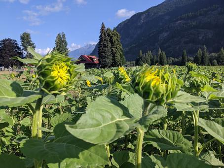 Sunflower Maze Information
