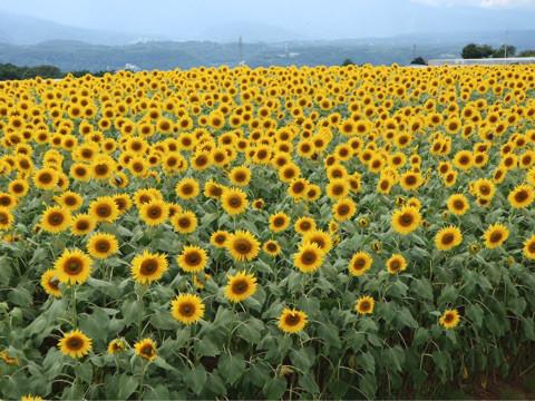 ひまわり畑weeding