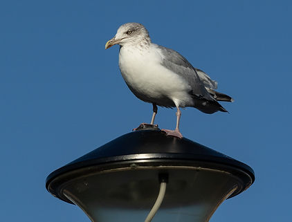 Seagull at Hastings