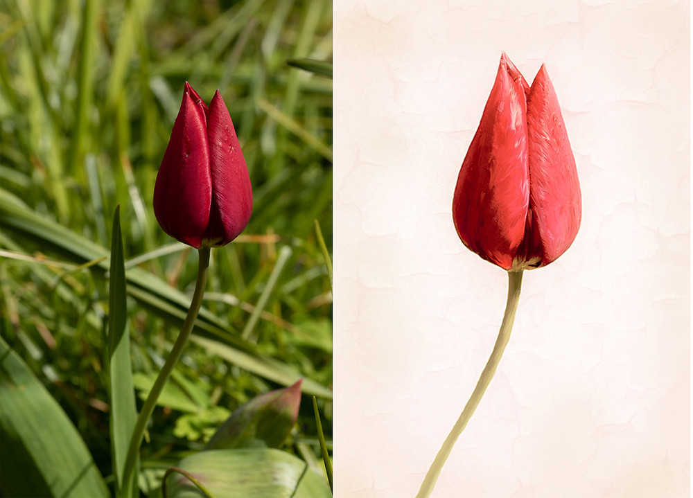 Photograph of tulip and photoshop art work