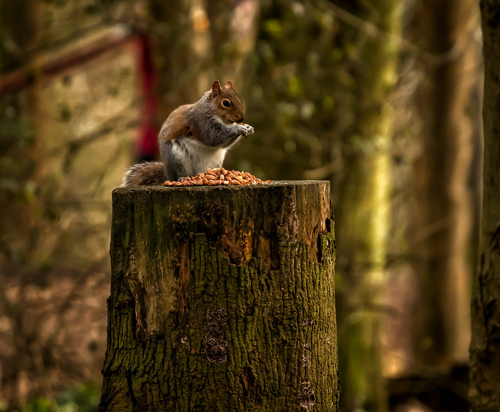 Picture of a Squirrel