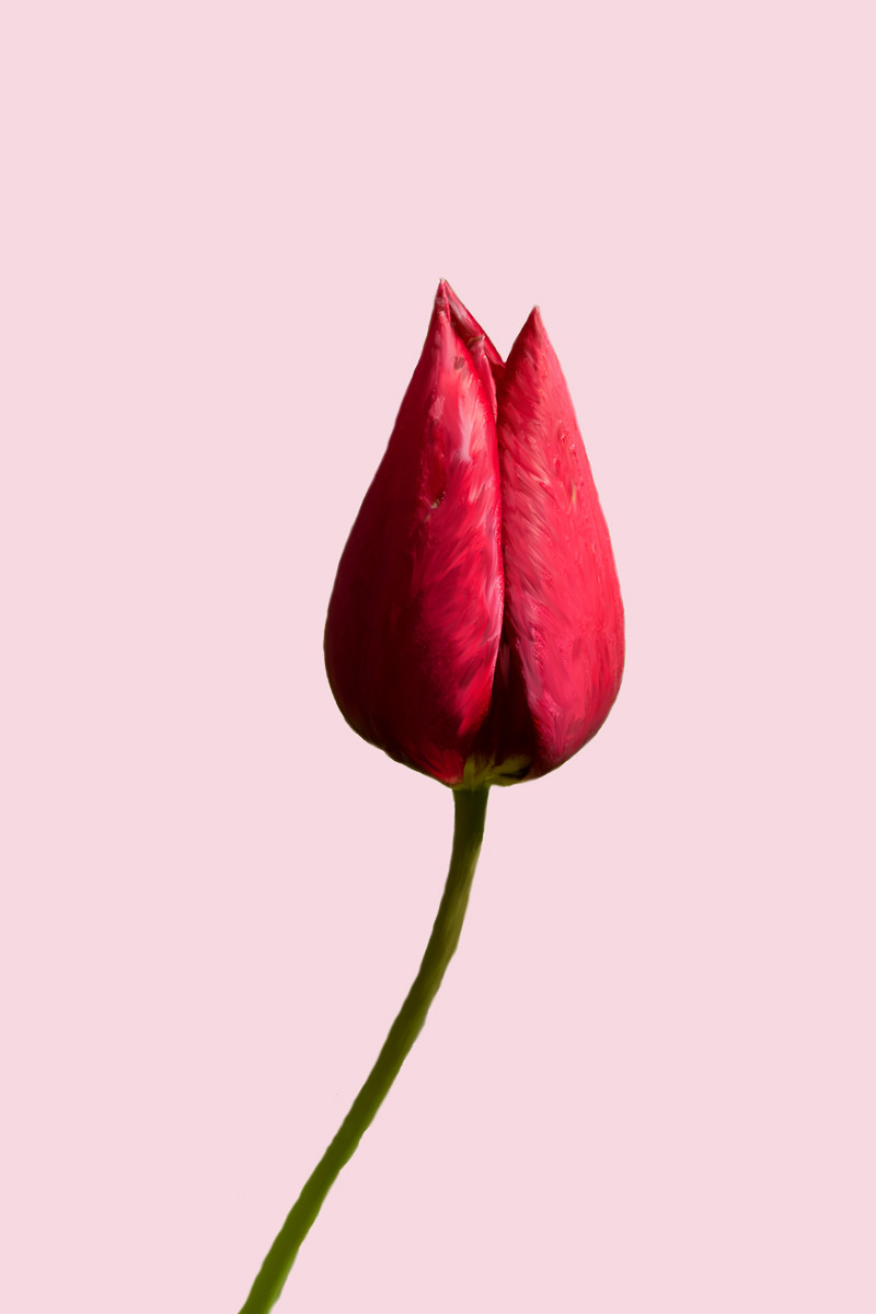 Red tulip on pink background