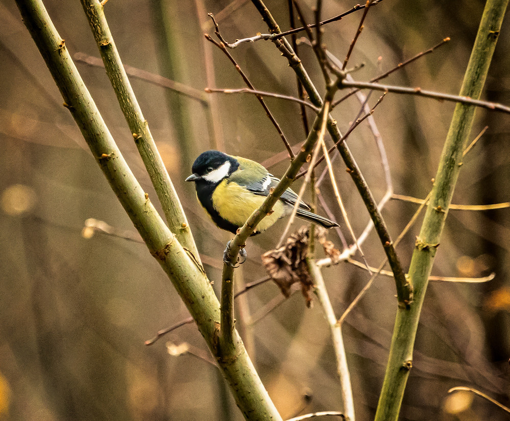 Photograph of a Great Tit