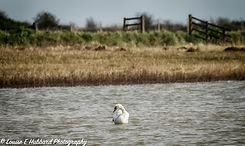 Swan at Cliffe Pools