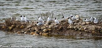 Black headed gulls at Cliffe Pools