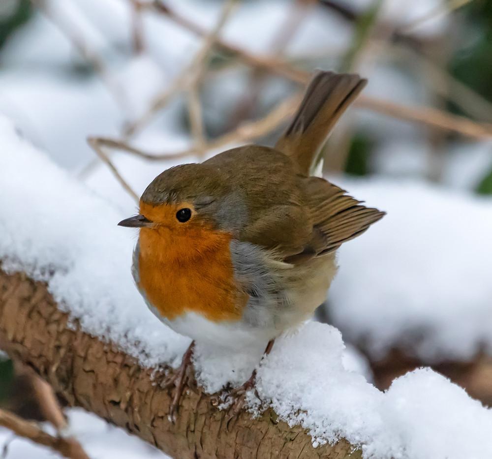 Photograph of a Robin
