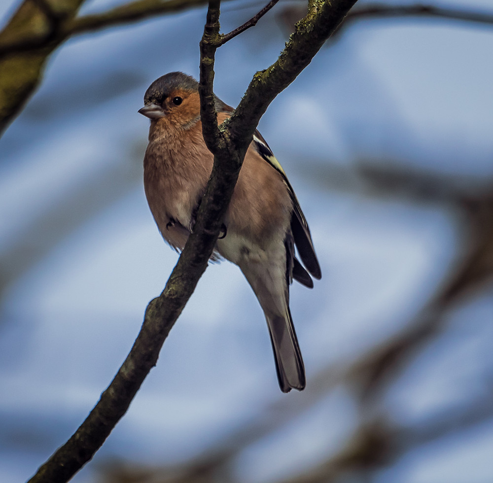 Photograph of a Chaffinch
