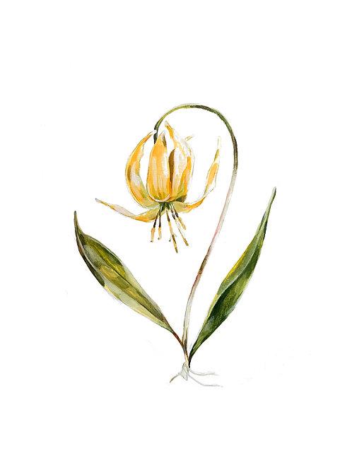 Glacier Lily Print