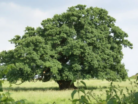 1786: Plague of insects destroys Cuckfield oak trees
