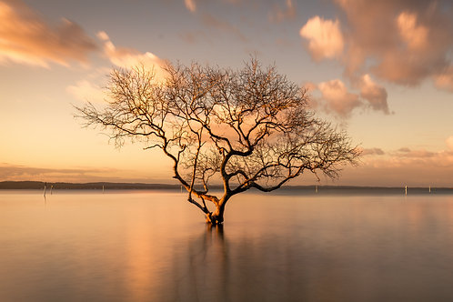 that tree, mangrove tree, dying tree, tree in water, gold