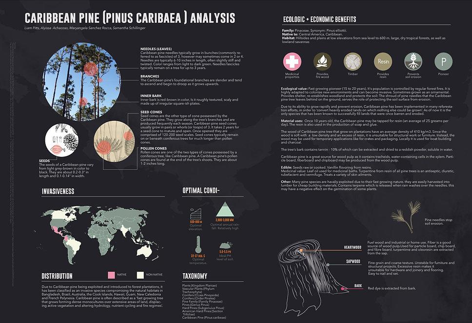 5.Caribbean_pine.jpg