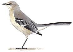 Mockingbirds-and-thrashers-audubon-clip-