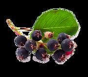 berriesdreamstime_m_50789962 (1).png