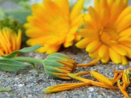 marigold-2827292.jpg