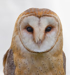 bird-barn-owl-106685.jpg
