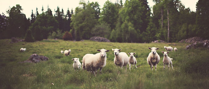 sheep-bg.jpg