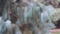 weeping tree in woods