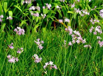 landscape-garlic.jpg