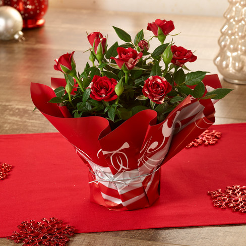 4inRoses_Red_Christmas1_WEB.jpg