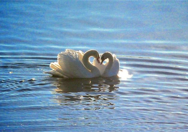 Culver Lake Swans.jpg