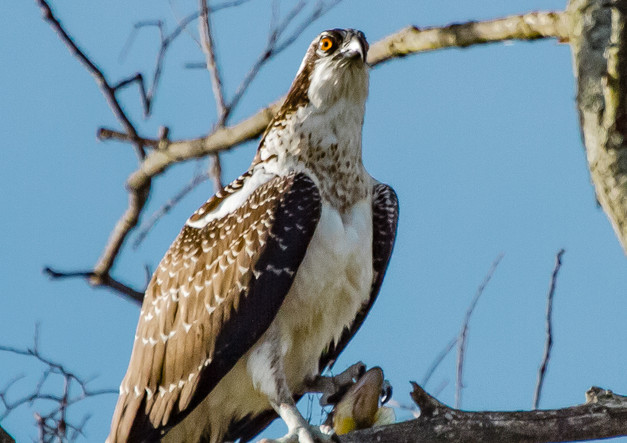 Culver Lake Osprey.jpg