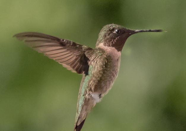 Culver Lake Hummingbird  .jpg