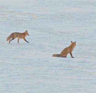 Culver Lake Foxes.jpg