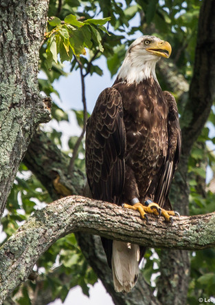 Bald Eagle Culver Lake.jpg
