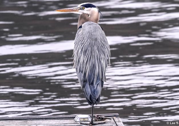Blue Heron on Culver Lake copy 2.jpg