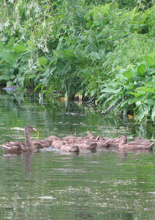 Culver Lake Ducks.JPG