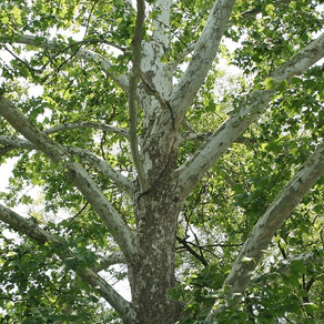 Being a Sycamore Tree