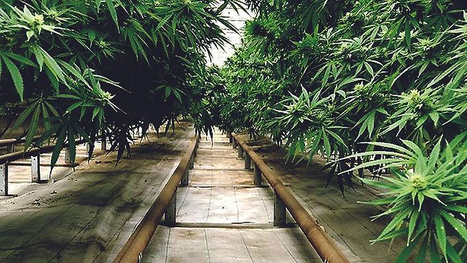 139 Cannabis