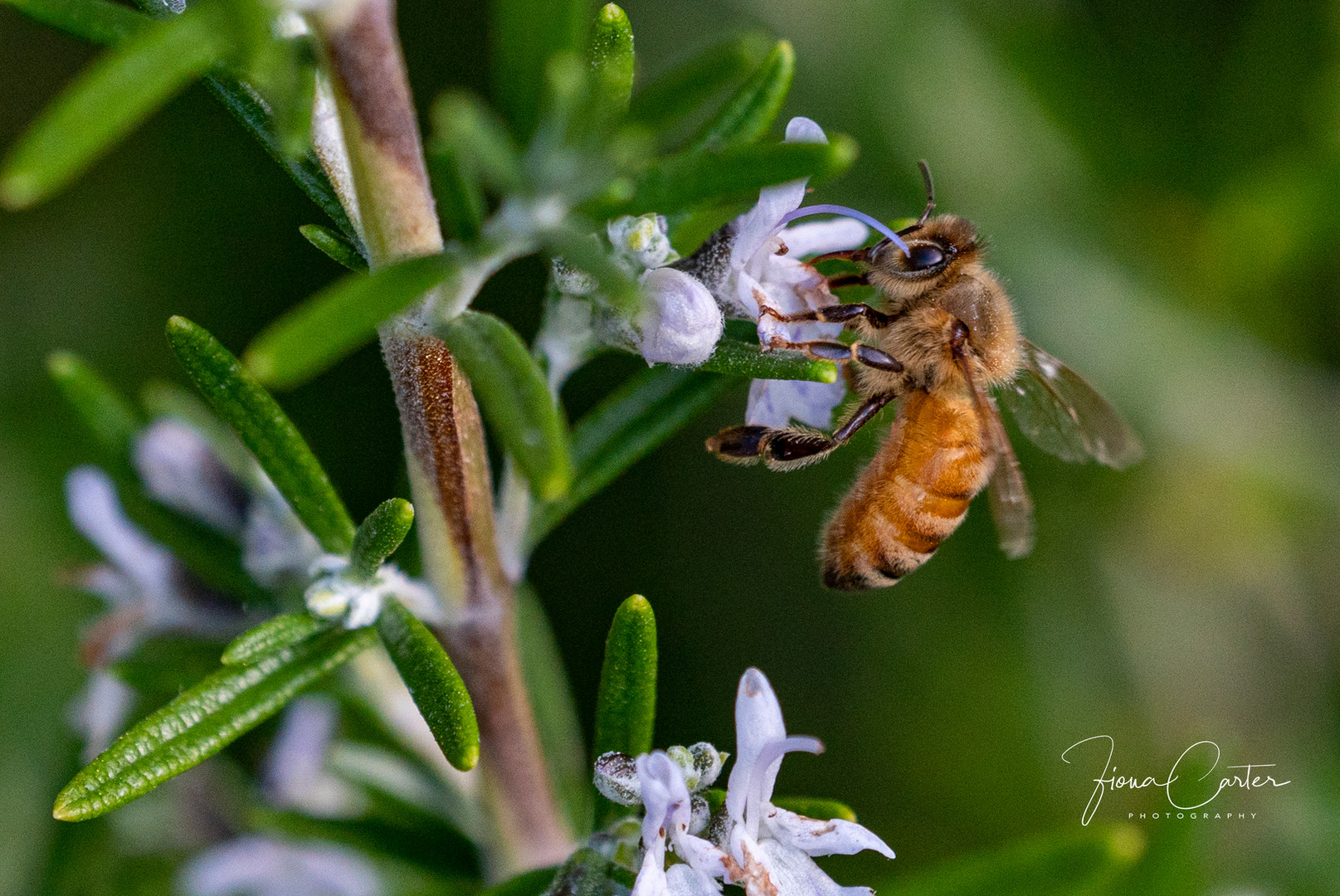 51.close up Bee on rosemary with wm.jpg