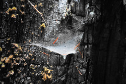 spider web in redwood tree