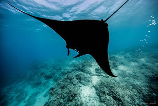 Giant Manta Ray Encounter at Bulia Island