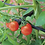 Thumbnail: Haxnicks Tomato Crop-Booster Frame and Cover