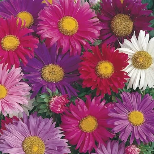 Unwins Aster China Mix - Approx 220 Seeds