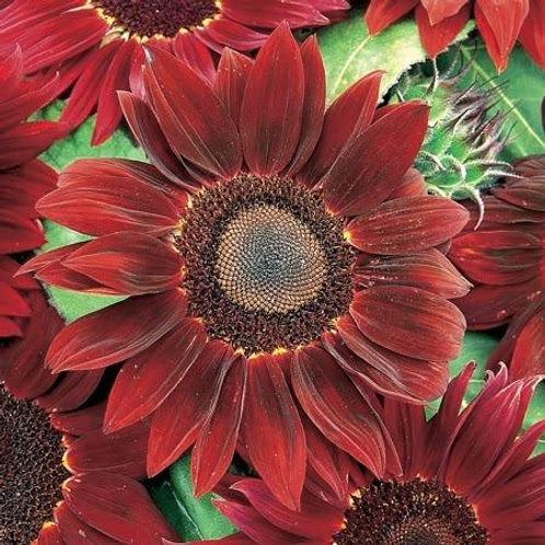 Unwins Sunflower Rouge Royal - Approx 16 Seeds