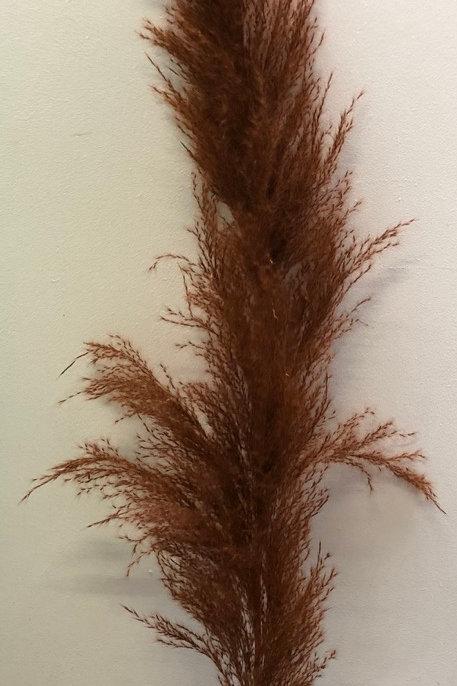 Cortaderia Brown 140cm (Dried Flowers)